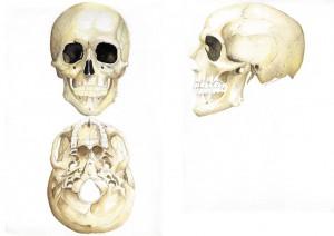 Huesos, Ilustración, cráneo, comprar cuadros originales