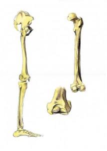 Huesos, Ilustración, Fémur, cuadro pintado a mano
