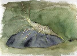 Ilustración, camarón, cuadros pintados a mano online