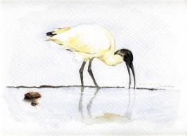 Ilustración, Focha Común, venta cuadros originales