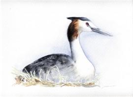 Ilustración, Somormujo Lavanco, venta de cuadros online